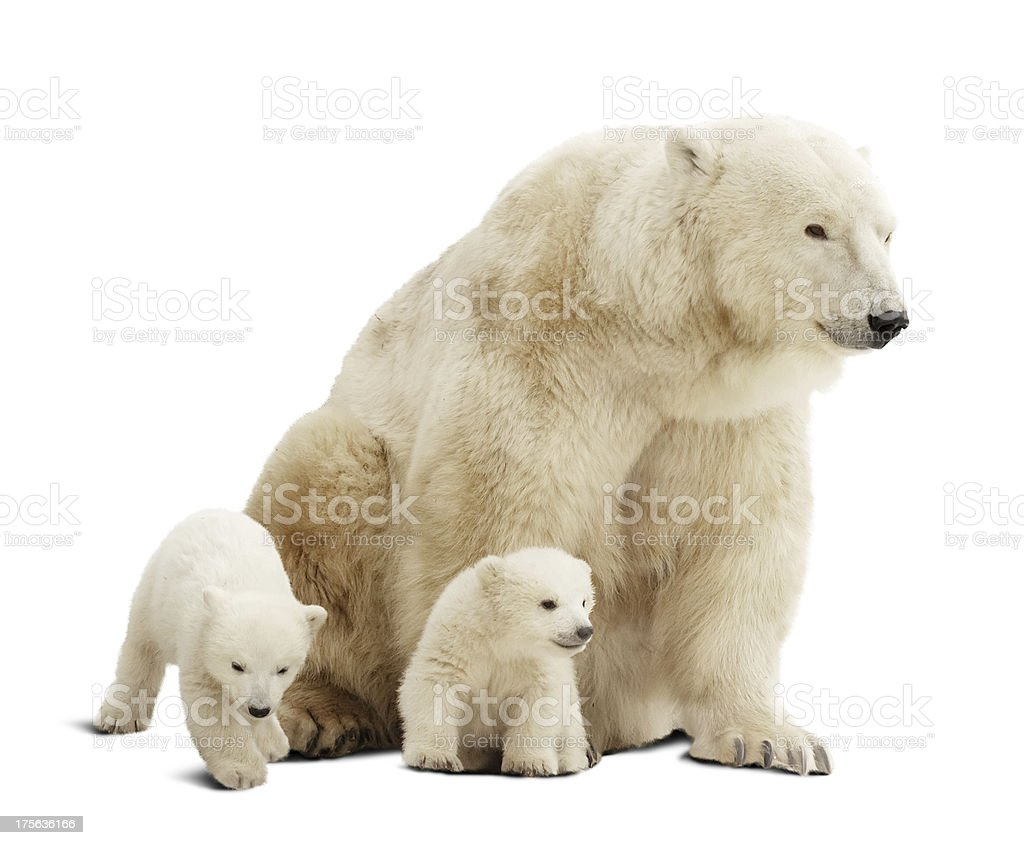Polar bear and her cubs isolated on white background Polar bear with cubs. Isolated over white background with shade Animal Stock Photo