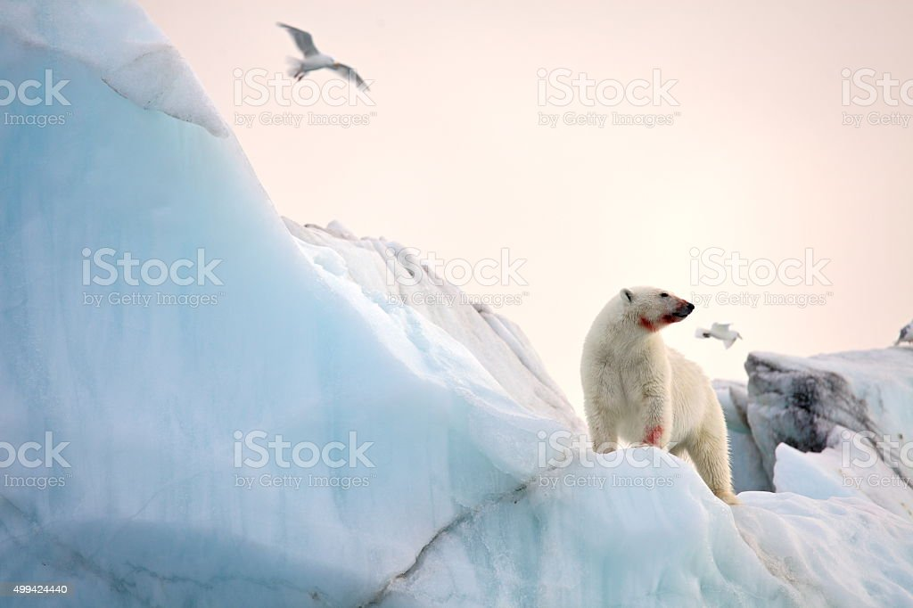 Polar bear and ivory gull stock photo