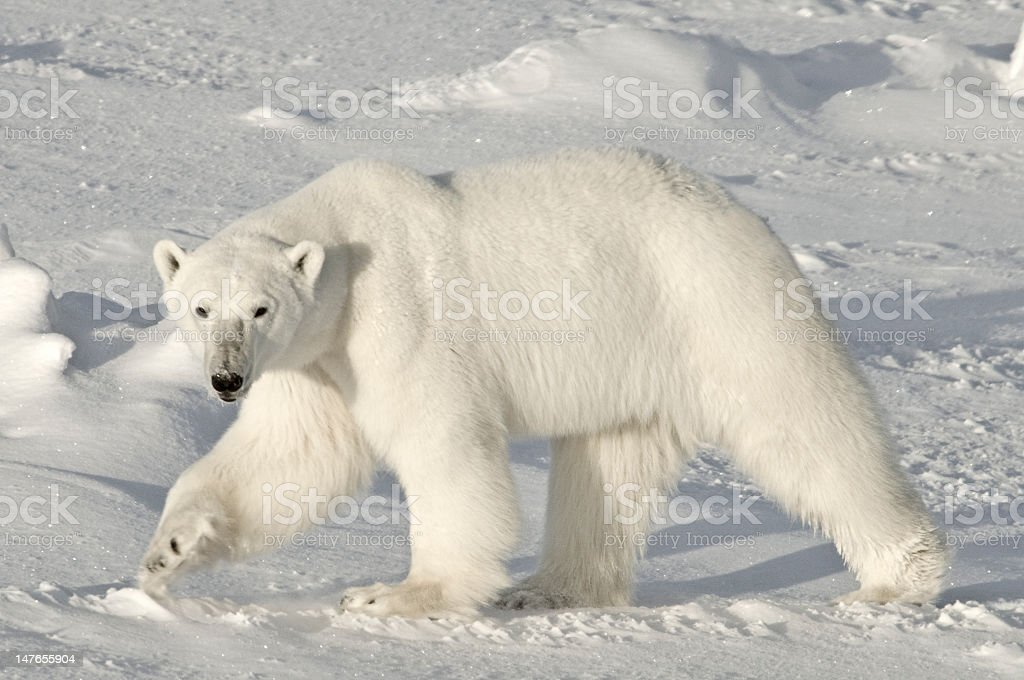 Polar Bear, Arctic royalty-free stock photo