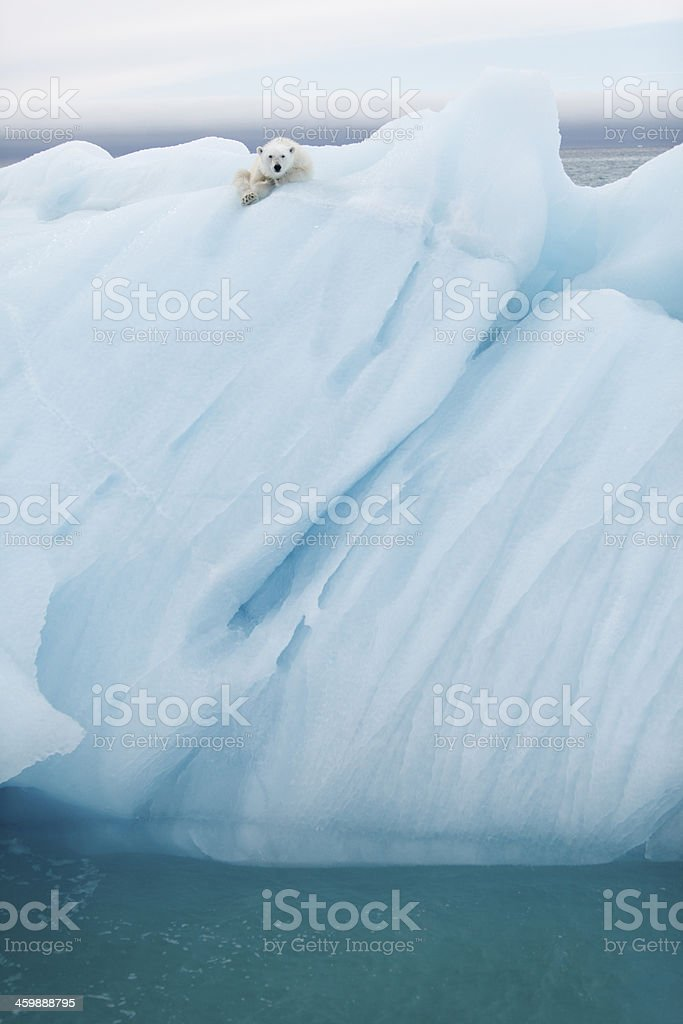 Polar bear at Svalbard stock photo