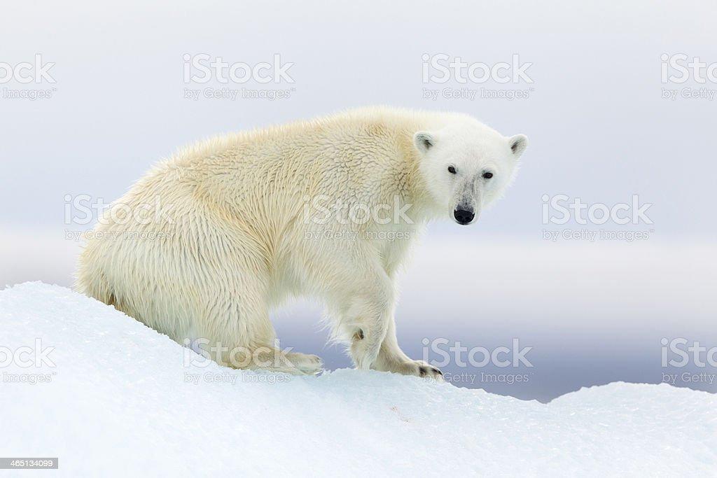 Polar bear at Svalbard stock photo