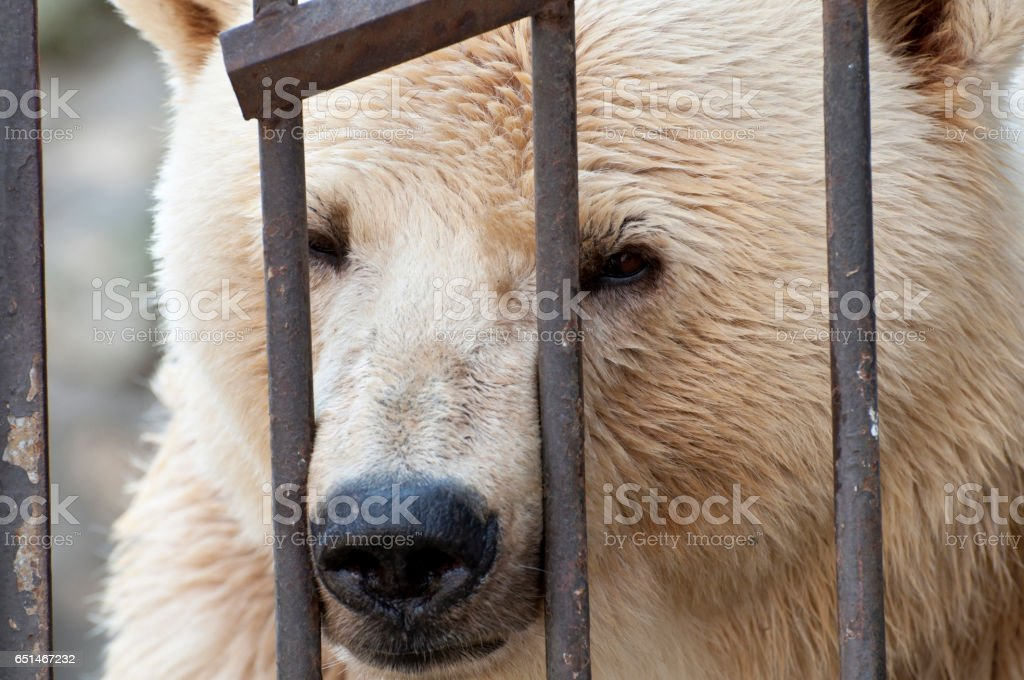 Polar bear behind bars stock photo