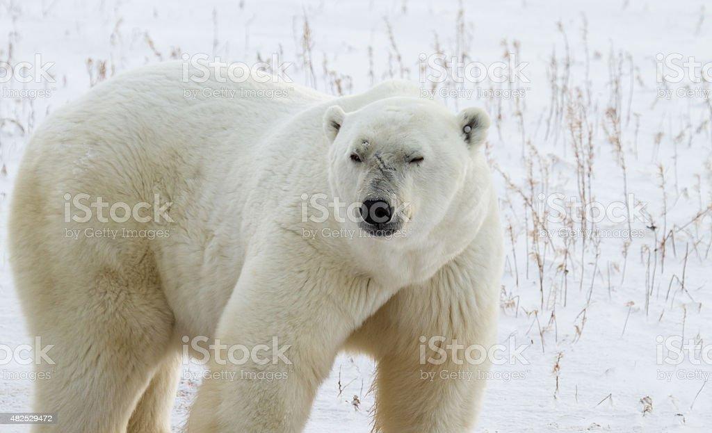Polar Bear Bruiser stock photo