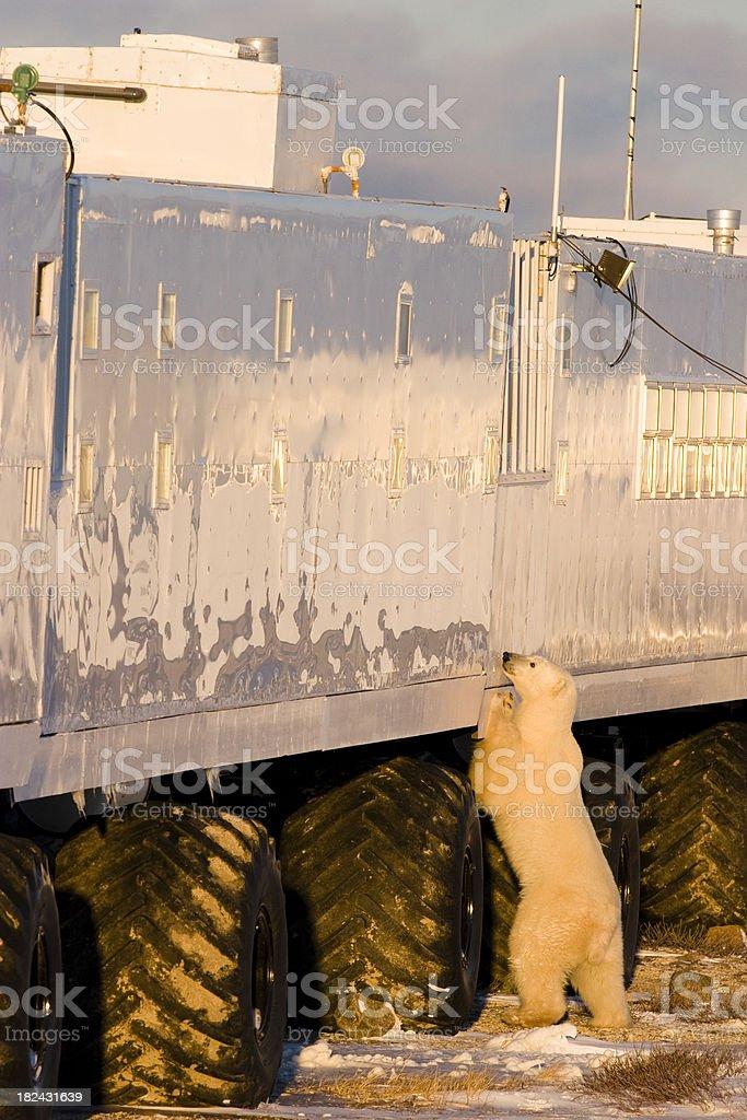 Polar bear by tundra mobile lodge. Canadian Arctic. royalty-free stock photo