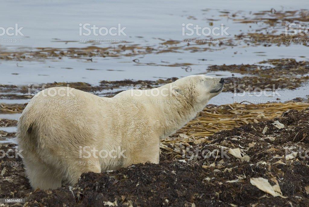 Polar Bear - Churchill, Manitoba royalty-free stock photo