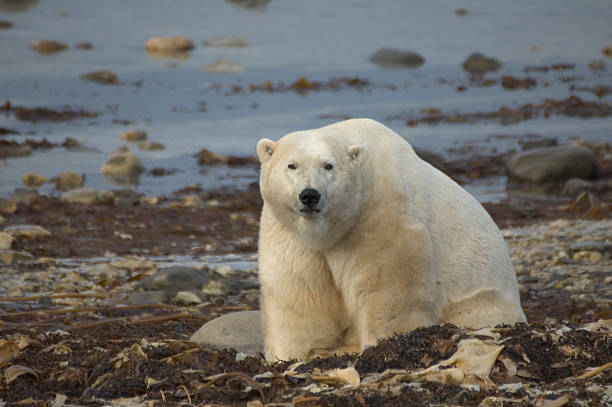Polar Bear - Churchill, Manitoba stock photo
