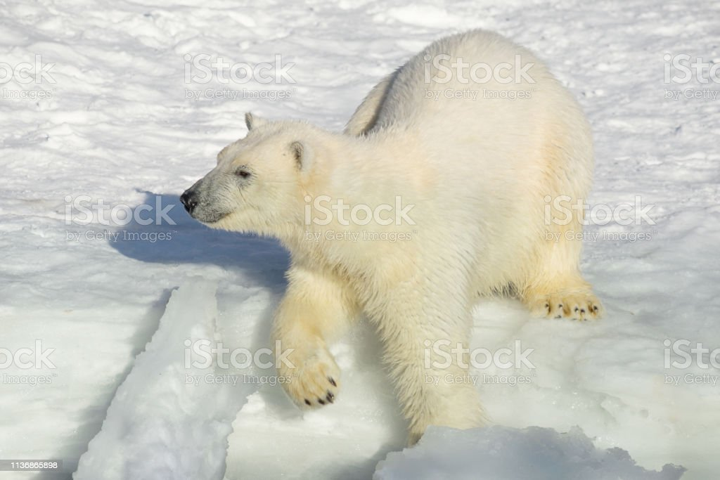 Polar bear cub by the seaside. Ursus maritimus or Thalarctos...
