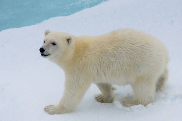 Polar bear (Ursus maritimus) cub on the pack ice, north of Svalbard Arctic Norway stock photo
