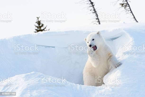 Polar bear cub picture id526687789?b=1&k=6&m=526687789&s=612x612&h=6vronjfts4ge90bcf6l4qr8tb8vwoacekcsufnwo z0=