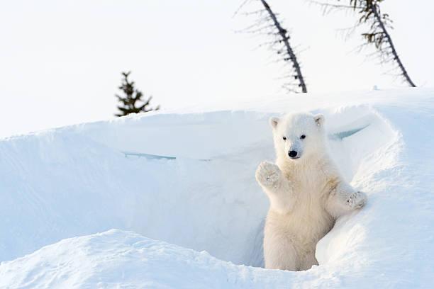 Cтоковое фото Полярный медведь (части) cub maritimus