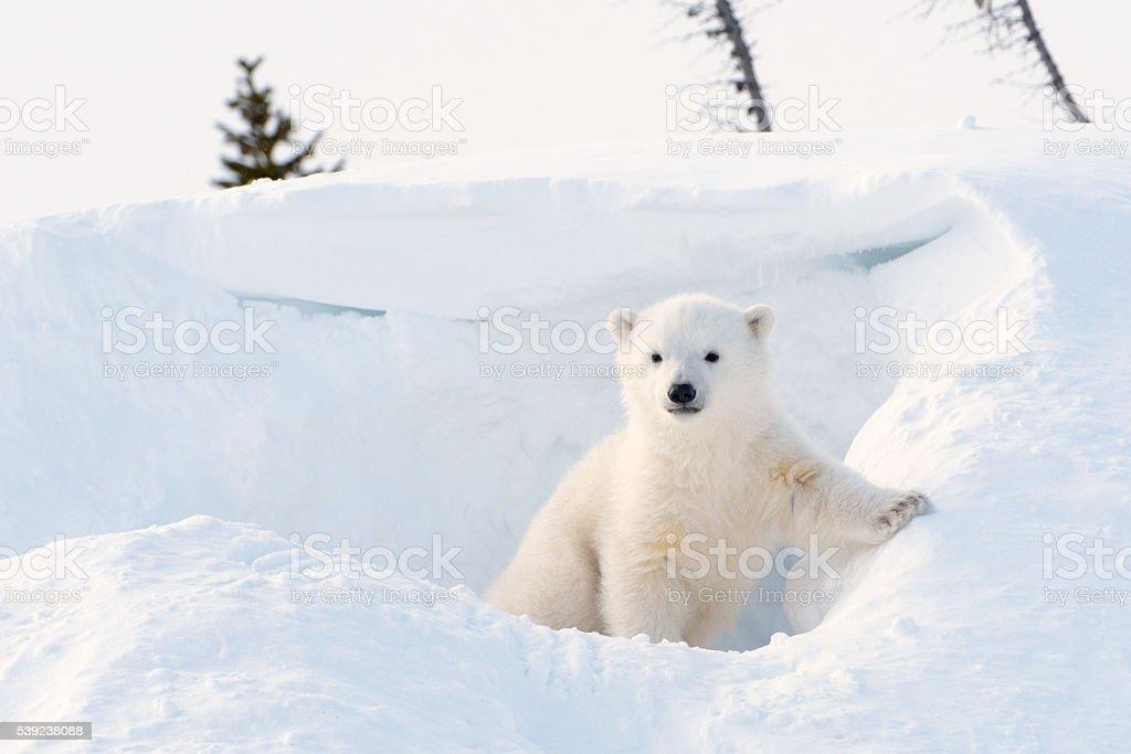 Polar bear (Ursus maritimus) cub foto de stock libre de derechos
