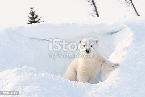istock Polar bear (Ursus maritimus) cub 539238088