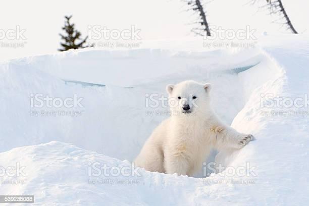 Polar bear cub picture id539238088?b=1&k=6&m=539238088&s=612x612&h= zy2y1kie7cn0yhrcygjhrxi4rknsgjzilbejhvv8em=