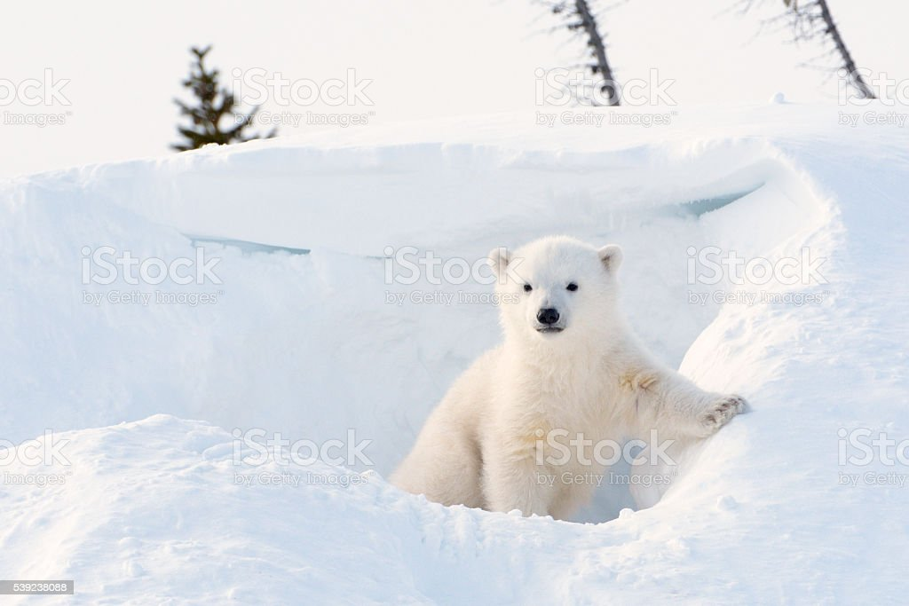 Polar bear (Ursus maritimus) cub stock photo