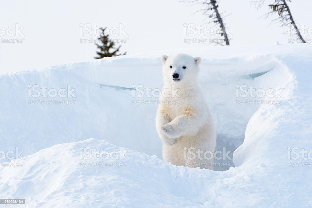 Polar bear (Ursus maritimus) cub royalty-free stock photo