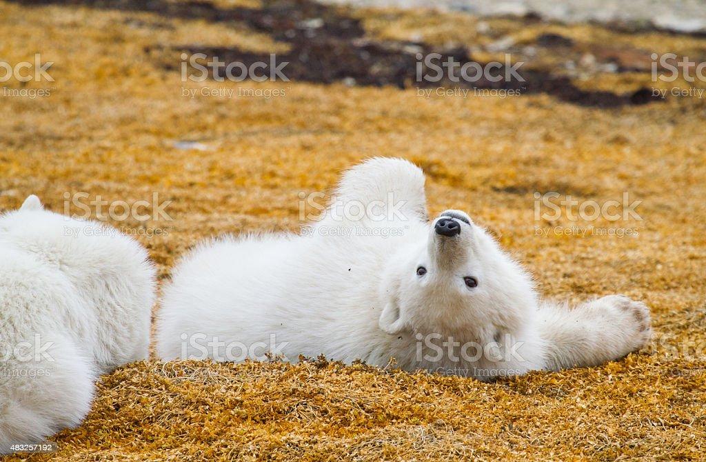 polar bear cub spielen – Foto