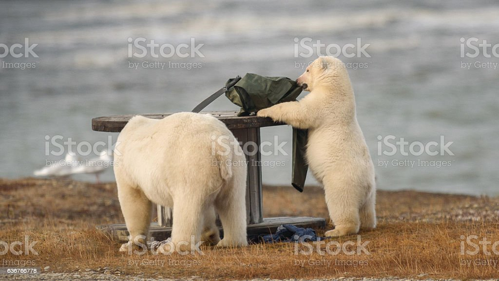 Polar Bear Cub Playing with Backpack in the Arctic stock photo