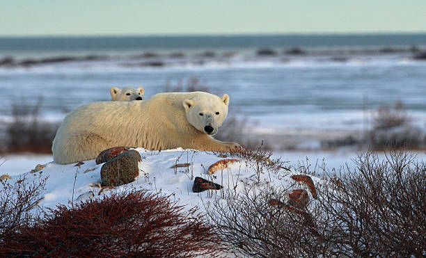 urso polar-cub- rock - tundra imagens e fotografias de stock
