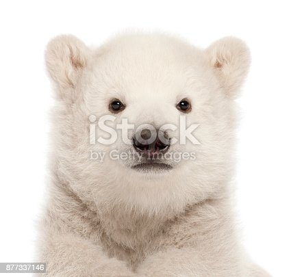 istock Polar bear cub, Ursus maritimus, 3 months old, against white background 877337146