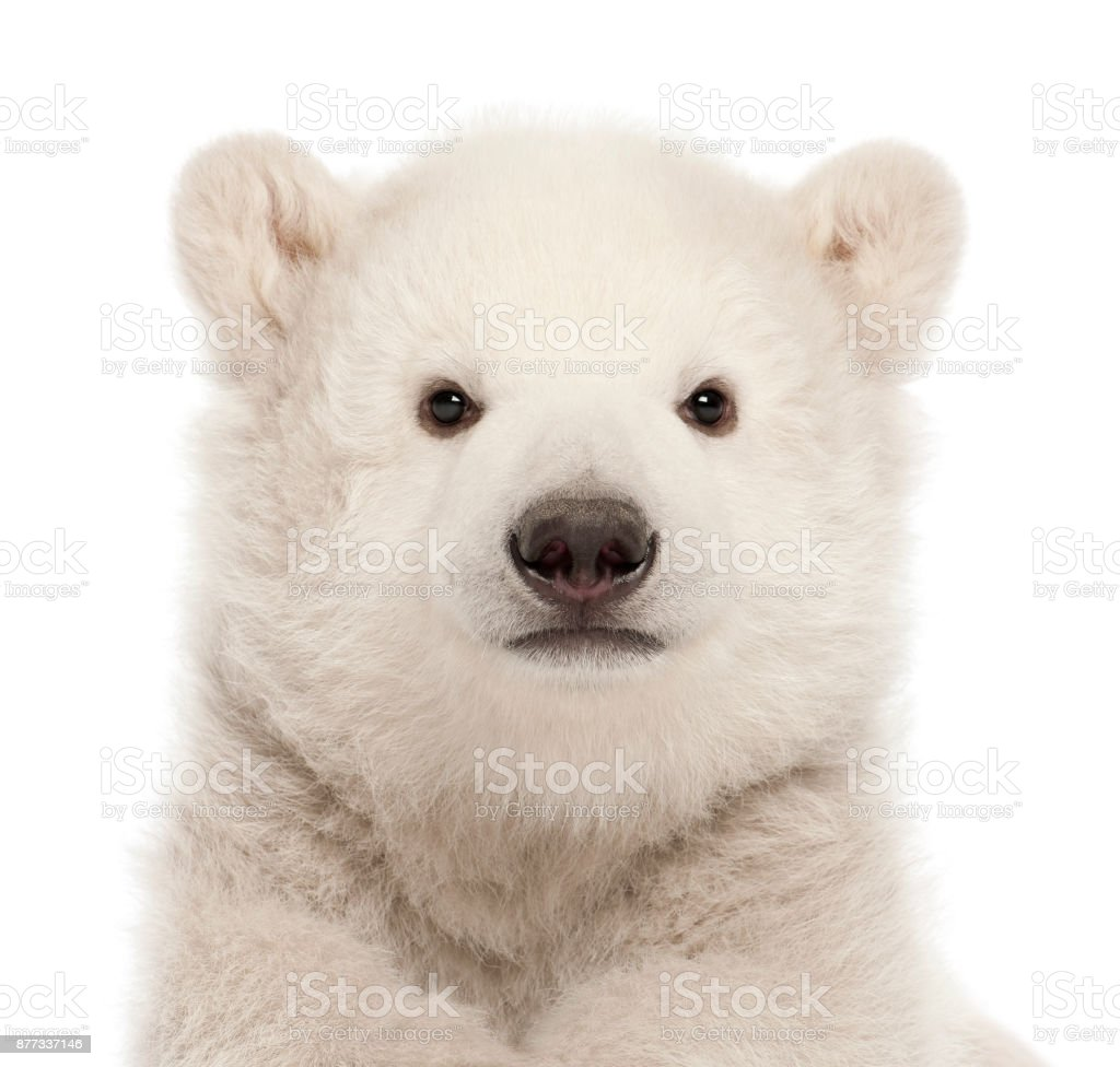 Polar bear cub, Ursus maritimus, 3 months old, against white background stock photo