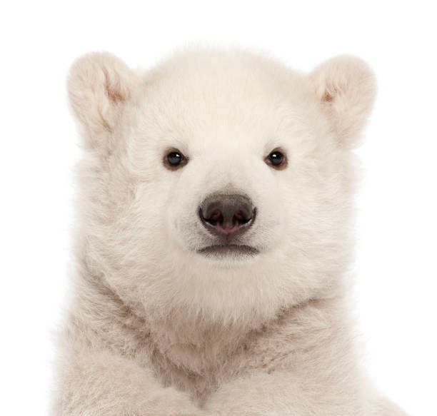 polar bear cub, ursus maritimus, 3 mois, sur fond blanc - jeune animal photos et images de collection