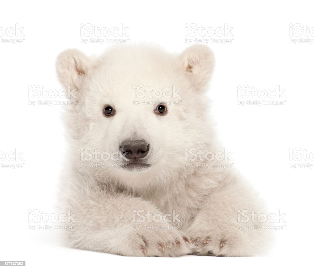 Polar bear cub, Ursus maritimus, 3 months old, lying against white background stock photo