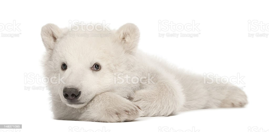 polar bear cub ursus maritimus 3 months old lying down royalty free