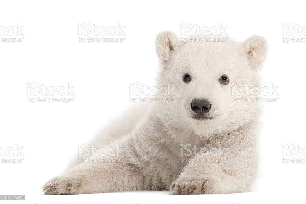 Polar bear cub, Ursus maritimus, 3 months old, lying down stock photo