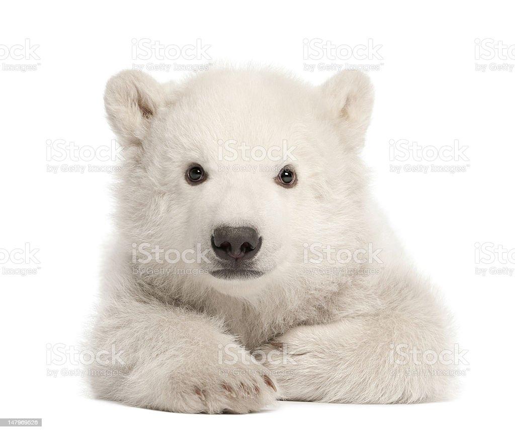 Polar bear cub, Ursus maritimus, 3 months old, lying against white...