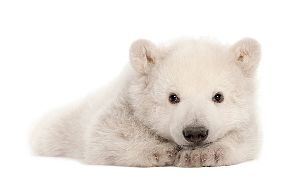 polar bear cub, ursus maritimus, 3 mois, allongé - ourson photos et images de collection