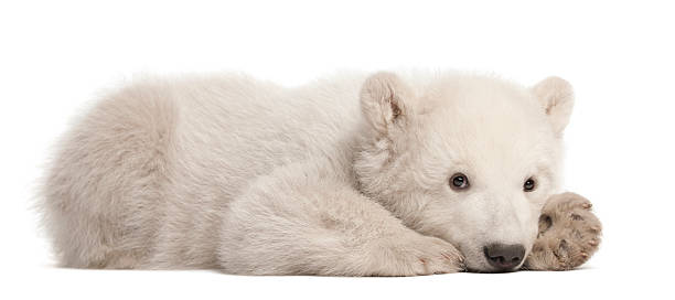 Polar bear cub, Ursus maritimus, 3 months old, lying Polar bear cub, Ursus maritimus, 3 months old, lying against white background cub stock pictures, royalty-free photos & images