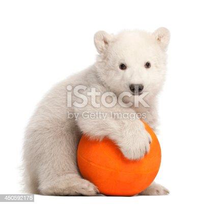 istock Polar bear cub, Ursus maritimus, 3 months old 450592175