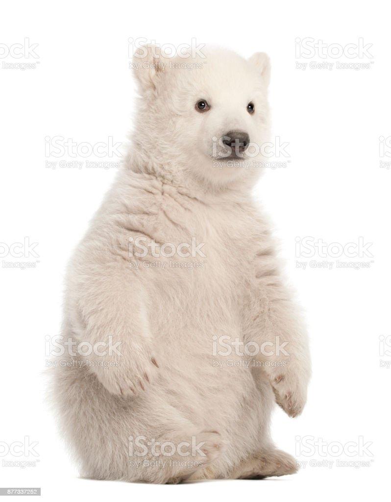 Polar bear cub, Ursus maritimus, 3 months old, sitting against white background stock photo