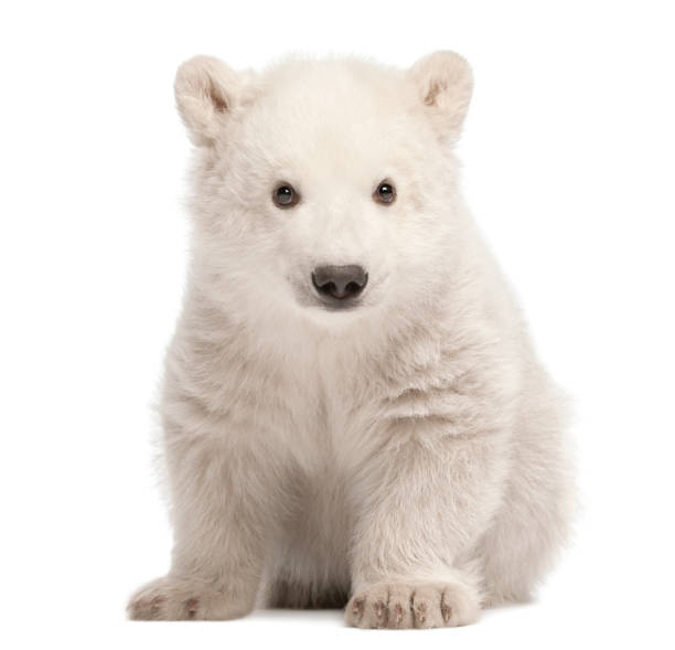 polar bear cub, ursus maritimus, 3 mois, assis sur fond blanc - ourson photos et images de collection