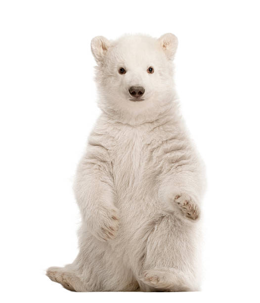 polar bear cub, ursus maritimus, 3 mois, espace - ourson photos et images de collection
