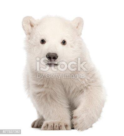 istock Polar bear cub, Ursus maritimus, 3 months old, standing against white background 877337282