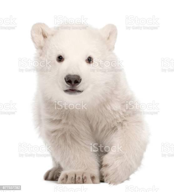 Polar bear cub ursus maritimus 3 months old standing against white picture id877337282?b=1&k=6&m=877337282&s=612x612&h=59okzt5bgbj 54jnatqcpj5l2yeqx2fdcfk2vn4vu6m=