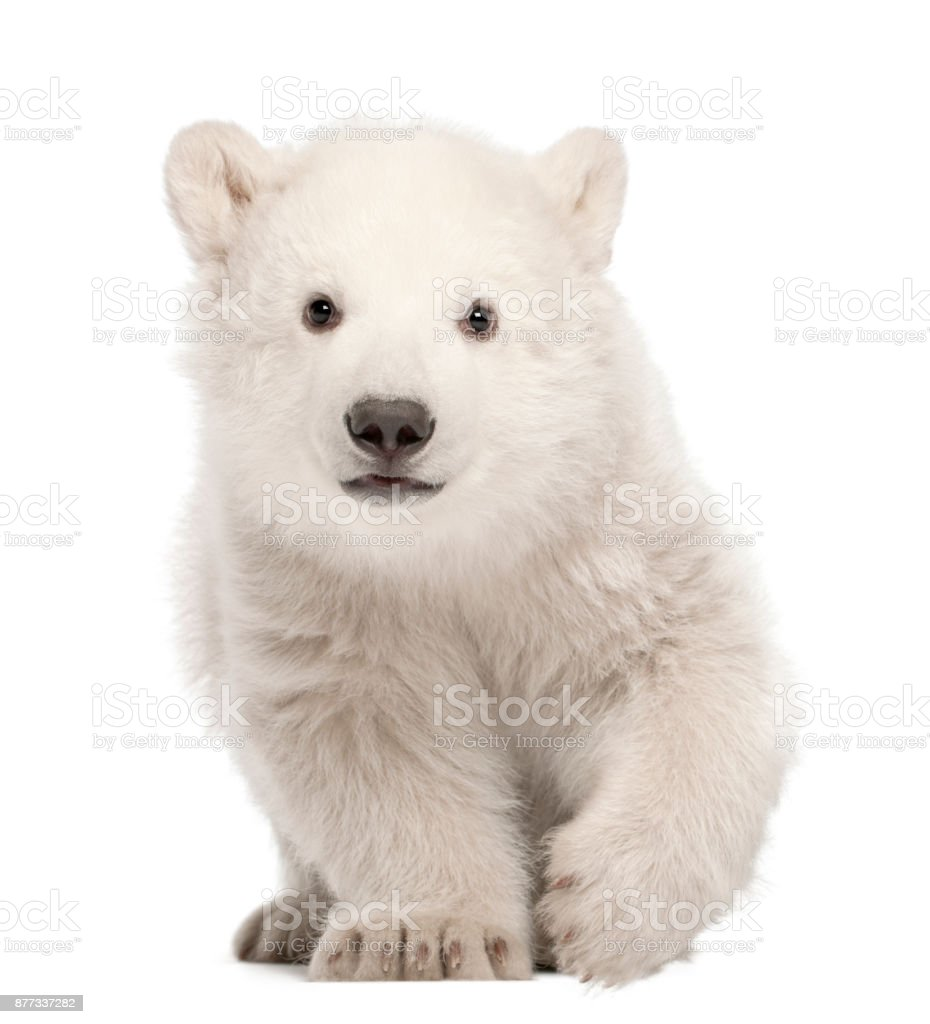 Polar bear cub, Ursus maritimus, 3 months old, standing against white background stock photo