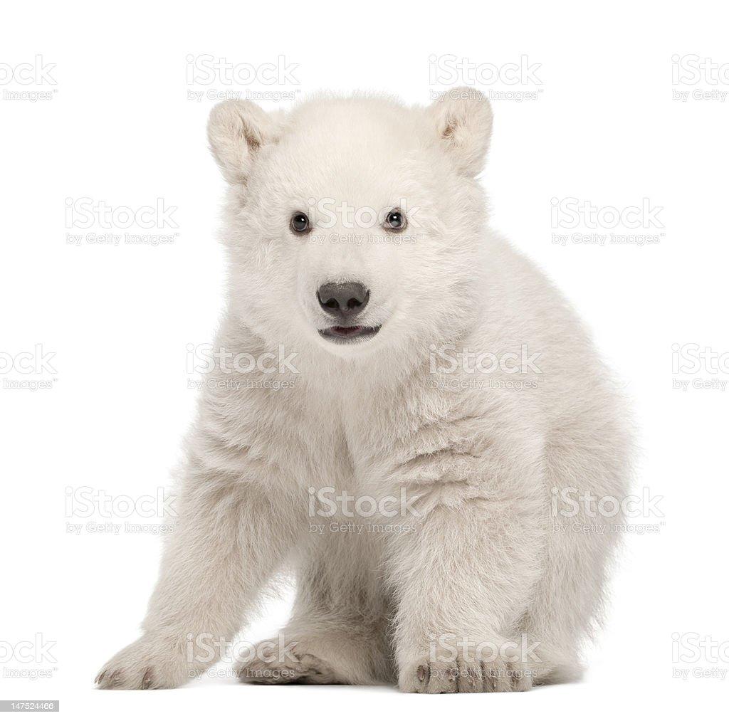 Polar bear cub, Ursus maritimus, 3 months old, standing stock photo