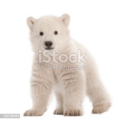 istock Polar bear cub, Ursus maritimus, 3 months old, standing 153238484