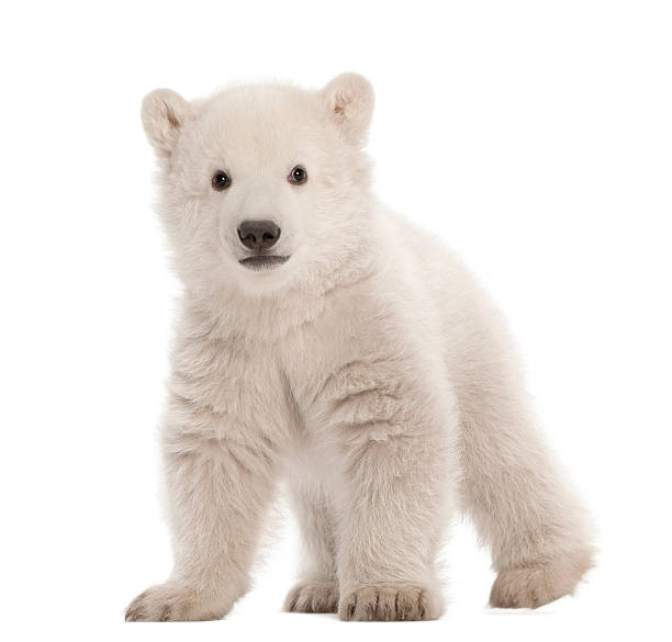 polar bear cub, ursus maritimus, 3 mois, debout - jeune animal photos et images de collection
