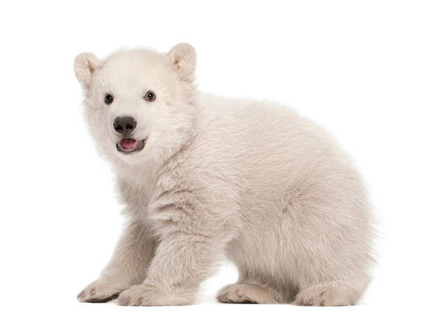 polar bear cub, ursus maritimus, 3 mois, debout - ourson photos et images de collection