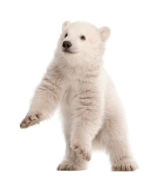 Polar bear cub, Ursus maritimus, 3 months old, standing Polar bear cub, Ursus maritimus, 3 months old, standing against white background cub stock pictures, royalty-free photos & images