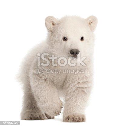istock Polar bear cub, Ursus maritimus, 3 months old, walking against white background 877337342
