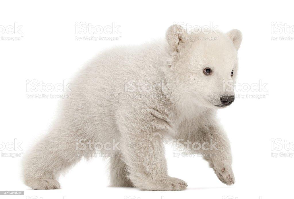 Polar bear cub, Ursus maritimus, 3 months old, walking stock photo