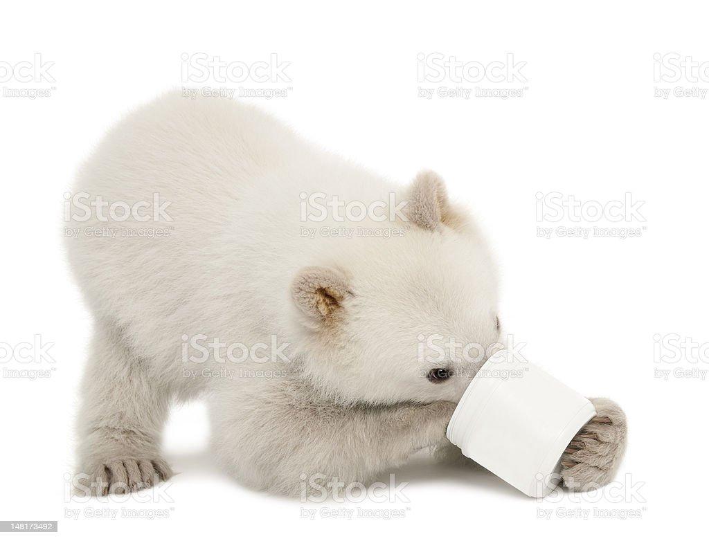 Polar bear cub, Ursus maritimus, 6 months old, feeding royalty-free stock photo