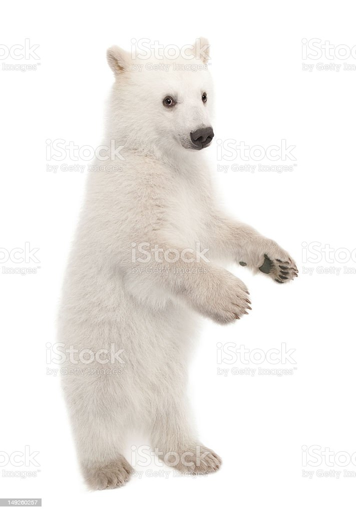 Filhote de urso Polar, Ursus maritimus, 6 meses, Retrato - foto de acervo