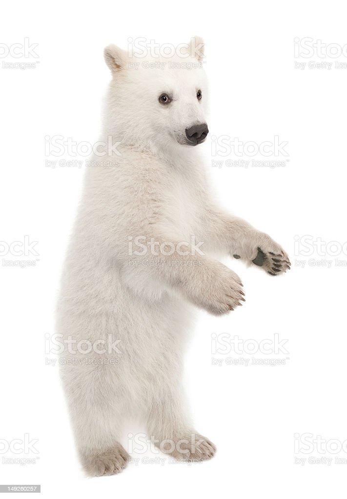 Polar bear cub, Ursus maritimus, 6 months old, portrait stock photo
