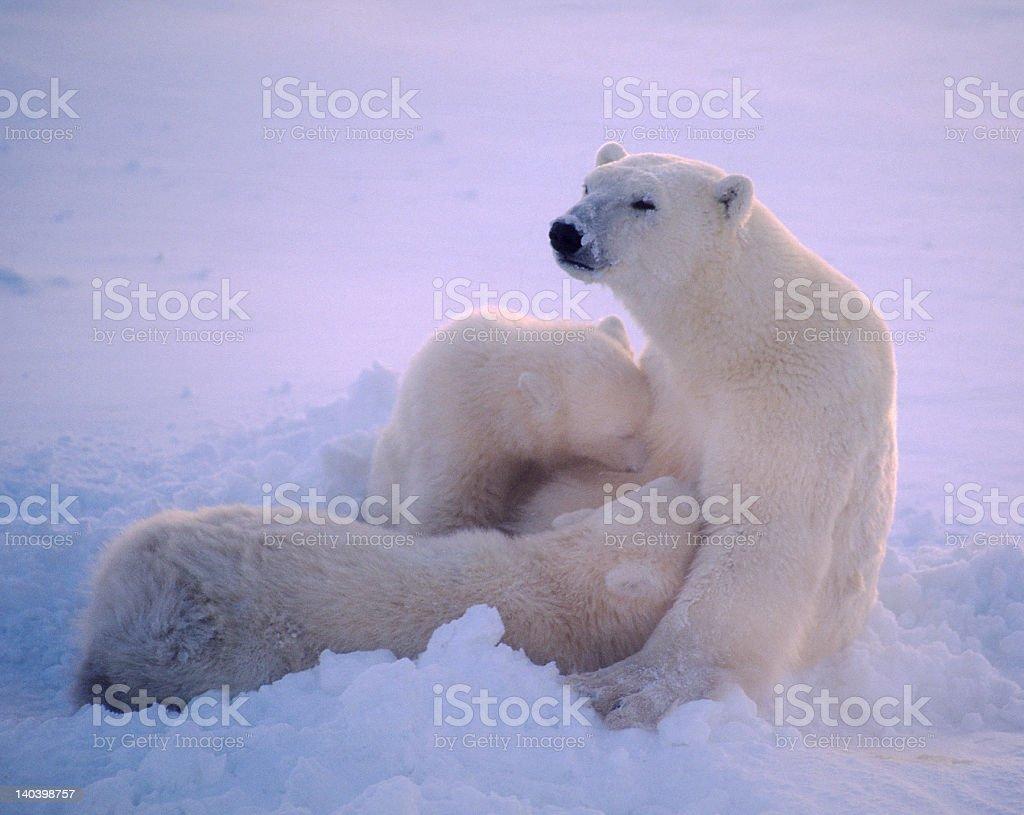 Polar bear cubs nursing stock photo