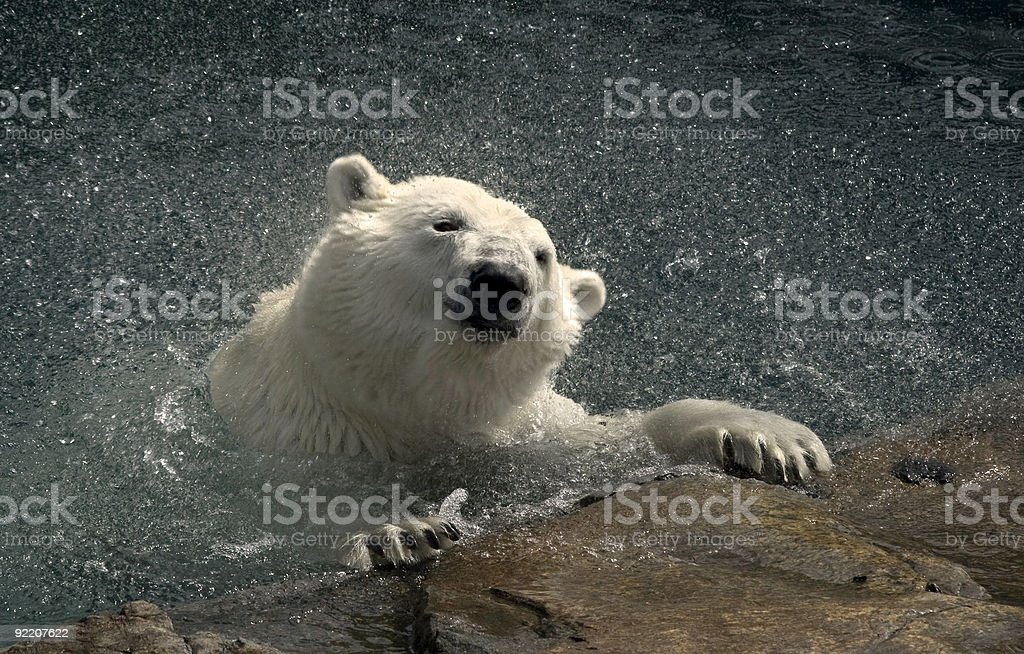 Polar Bear Emerging stock photo